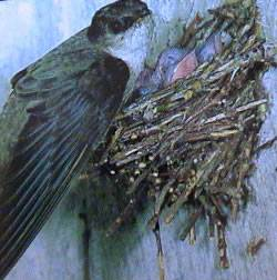 chimney swift tending to young in nest